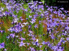 floare mov Clematis, Indigo, Plant, Indigo Dye