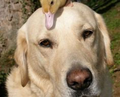 cute story, dog came to the rescue of an orphaned duck