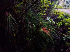 Greigia sphacelata Plants, Green Roofs, Vertical Gardens, Native Plants, Flora, Plant, Planting