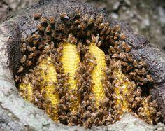 Full size image of Honeybee (Apis mellifera)