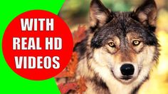 This educational video will teach your kids the animals of the forest and the forest animal sounds. The fauna of a temperate forest include a large variety of animal species.  Wild forest animals range from jaguars to bears, wolves to foxes, rabbits to turtles. This diversity makes it interesting for kids to learn about the forest animals and their sounds