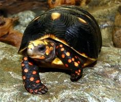 Black Red Footed Tortoise - It's hard to believe this is real. I'd really like to get one, but they grow to be pretty big Land Turtles, Cute Turtles, Sea Turtles, Tortoise Care, Tortoise Turtle, Sulcata Tortoise, Tortoise Habitat, Beautiful Creatures, Animals Beautiful