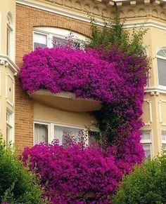 Purple climbing flower