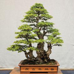 Chinese Elm, by Scott Chadd of Lotus Bonsai Nursery
