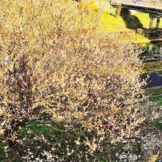 梅ちゃんさすがに桜ちゃんはまだですた  #ume #tree #miniphotowalk #photowalk #photowalking #niigata #iphoneonly #iphonegraphy #iphoneography #iosphotography #fbp