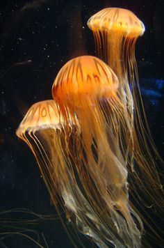 Jellyfish at Long Beach Aquarium of the Pacific