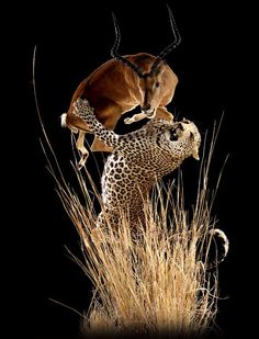 Leopard Attacking Impala