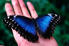real blue butterfly - Buscar con Google