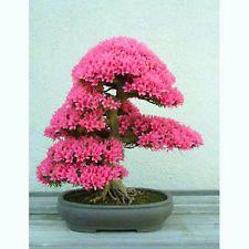 Judas tree - Cercis siliquastrum - 30 bonsai seeds - RARE tree