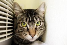 Tiggerlily has been adopted from Seattle Humane http://www.seattlehumane.org/adoption/cats