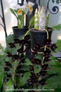 Black Orchids ~ Fiel                                                                                                                                                     More