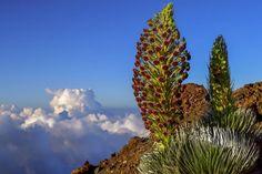 Aloha California - California Native Plant Society Waimea Canyon, California Native Plants, Bird Migration, Plant Species, Archipelago, Pacific Ocean, Ecology, Habitats, Outdoor Gardens