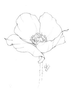 Flower drawing of a giant poppy by Blushed Design. You can see some of the process behind her flower drawings in this image—the sketched out lines and the darker, more defined outlines. Poppy Drawing, Flower Art Drawing, Pencil Drawings Of Flowers, Flower Drawing Tutorials, Flower Sketches, Floral Drawing, Plant Drawing, Painting & Drawing, Watercolor Paintings