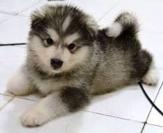 Image result for malamute puppy