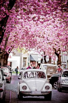 Beetles and Cherry Blossom, Bonn, Germany