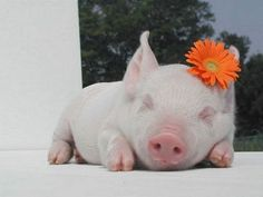 in addition to a puppy, I also want a teacup pig. i think they will get along adorably.