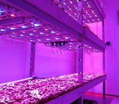 Des LED rouges et bleues vont reléguer les pesticides aux oubliettes!