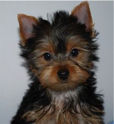 Teacup Puppies For Sale Dog Boutique For Teacups Dogs For