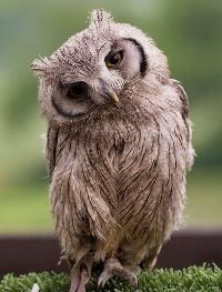 so you think I'm just an owl, ha! I'm an owl tilting his head like he asked you a question! Beautiful Owl, Animals Beautiful, Pretty Birds, Love Birds, Animals And Pets, Cute Animals, Wild Animals, Baby Animals, Owl Always Love You