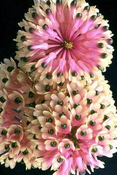 Dahlias-~Orquídea Dendrobium
