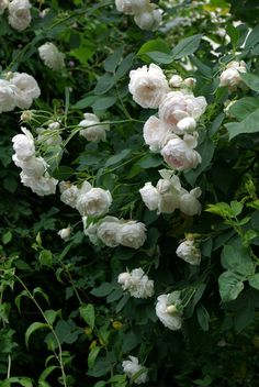 """Rosa multiflora 'Ännchen von Tharau' (Aennchen von Tharau, Annie of Tharau, Annette de Tharau)   Zon V. Gammaldags klätterros (f. 1885), Geschwind-ros, med medelstora, fyllda, vita eller crémefärgade blommor med rosa skimmer, gul mitt och medelstark doft. Frisk och härdig. """"Ännchen von Tharau"""" är en gammal folksång dedikerad Anna Neander (1615-1689), dotter till Tharaus präst. Ca 3m hög. Rudolf Geschwind (tidigare Österrike-Ungern)."""