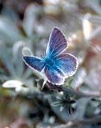https://en.wikipedia.org/wiki/Mission_blue_butterfly