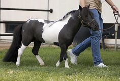 adorable mini horse | Miniature Horse Stallion | Flickr - Photo Sharing!