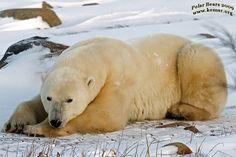 churchill polar bear pictures c0