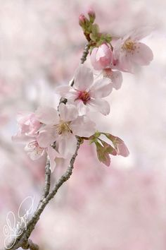 Cherry Blossoms by ForeverCreative on DeviantArt Most Beautiful Flowers, Pretty Flowers, Flowers Nature, Spring Flowers, Ikebana, Cherry Blossom Japan, Cherry Blossoms, Art Drawings For Kids, Floral Photography