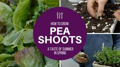 How to grow peas shoots for many harvests off a small area: multisow, in...