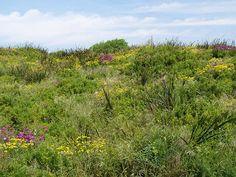 Coastal Vegetation, on Great Ocean Road Australian Wildflowers, Victoria Australia, Wild Flowers, Vineyard, Coastal, To Go, Ocean, Island, Places