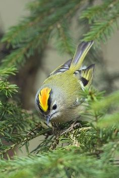 GOLDCREST -The Goldcrest is smaller than the Wren and is Europe's smallest bird.