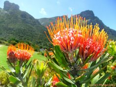 A beautiful Protea in Kirstenbosch Botanical Garden - Cape Town.