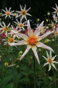 Cut Flower Garden, Flower Farm, All Flowers, Beautiful Flowers, Growing Dahlias, Inside Outside, Dream Garden, Garden Inspiration, Garden Plants