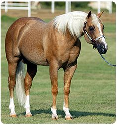 Double dilute chestnut (palomino) with the roan gene. This is stallion Yellow Roan of Texas Quarter Horses, American Quarter Horse, Palomino, Horse Photos, Horse Pictures, All The Pretty Horses, Beautiful Horses, Reining Horses, Draft Horses