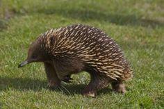 Найдено в Google. Источник: kot-pes.com. Albinism, Echidna, Australian Animals, Rare Animals, Weird And Wonderful, Animal Kingdom, Mammals, Hedge Hog, Terra