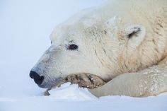 Resting in fresh snow and enjoying a peaceful moment without distraction. Sometime just stopping and breathing is good enough. Photo © copyright by Lance Carter. #photography #fineart #wilderness #polar #bear