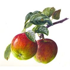 Appels illustratie door Rosie Sanders