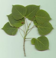 The Aspen Tree of Western North America Aspen Tree leaf Aspen Leaf, Aspen Trees, Tree Leaves, Plant Leaves, Tree Tree, Tree Bark, Trees And Shrubs, Trees To Plant, Michigan Trees