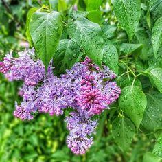 Najpiękniejszy majowy kwiat 💜 Wyjątkowy widok po deszczowej nocy... . #instawtorek #kobiecafotoszkoła #lilak #bez #may #may2019 #flowers #poland #instalublin #rain #igerspoland #instagood #flowerpic #flower Plants, Instagram, Plant, Planets