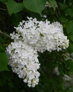 Pihasyreeni Syringa vulgaris