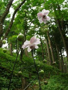 Anemonopsis macrophylla, Porslinsanemon Skira stänglar med underbara blommor i ljus och mörklila under sensommaren. Höjd: Höjd 75 cm. Växtplats: Planteras i jord som inte torkar ut. Halvskugga till skugga. Härdighet: Minst härdig till mellansverige.