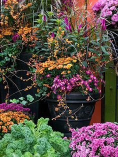 This autumn take advantage of beautiful blooms by adding chrysanthemums to your garden Fall mums are a great choice for adding color in cooler weather Theyre versatile av. Outdoor Plants, Garden Plants, Outdoor Gardens, Ivy Plants, Fall Mums, Autumn Fall, Fall Containers, Pot Jardin, Autumn Display