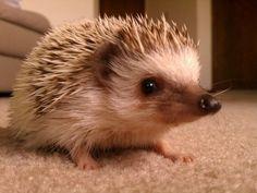 My Hedgehog, Knuckles. | Cutest Paw
