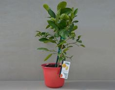 "Meyer Lemon in RED 10"" Bamboo Pot - Three Year-Old Tree"