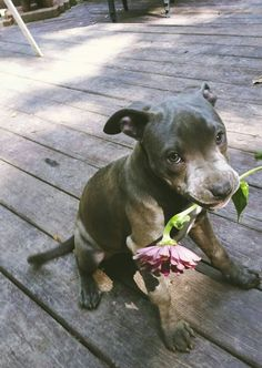 American Pitbull – All You Want to Know About This Breed – Pets and Animals Cute Baby Animals, Animals And Pets, Funny Animals, Cute Puppies, Cute Dogs, Dogs And Puppies, Doggies, Dalmatian Puppies, Pomeranian Puppy
