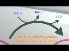 The Citric Acid Cycle (Krebs Cycle)
