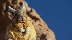 Courtesy of Planet Earth II ( David Attenborough's new tv series) this is a viscacha enjoying the sun's warmth. http://ift.tt/2eN2wFq