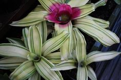 Linchpin By Seth Godin And Generate By Daniel Pink - Two Guides, One Particular Information Neoregelia 'Kin Love' Perennial Flowering Plants, Variegated Plants, Foliage Plants, Air Plants, Garden Plants, House Plants, Beautiful Gardens, Beautiful Flowers, Herb Garden Kit