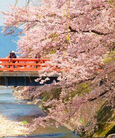 Cherry blossom in Takayama